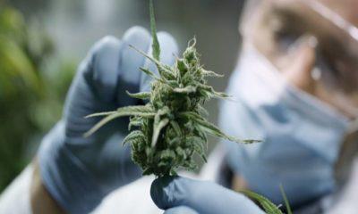 cannabis medicinal conicet cuarentena