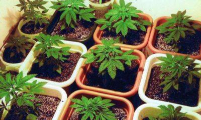 declaron inconstitucional ley contra autocultivo cannabis
