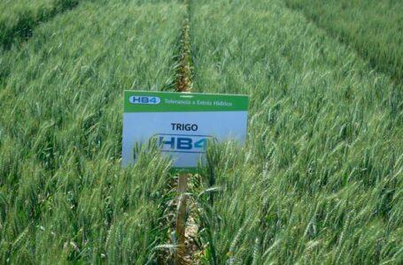 Argentina aprobó la siembra y comercialización de trigo transgénico